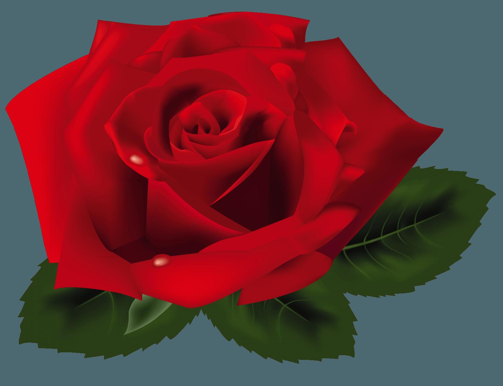 מה ההבדל בין ורד לשושנה?