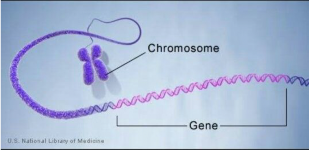 מה ההבדל בין גנים, כרומוזום ואללים?