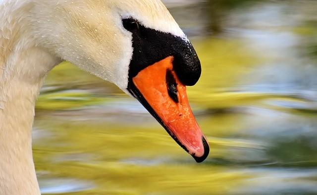 מה ההבדל בין אווז ברווז וברבור?