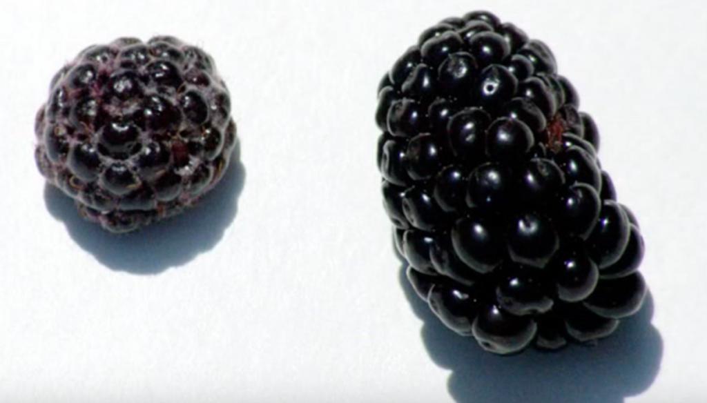 תות עץ - אסנה