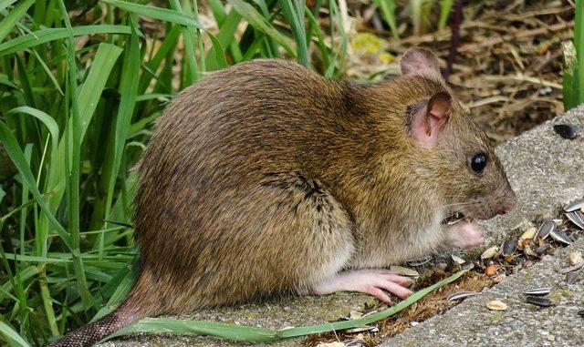 חולדה עכבר