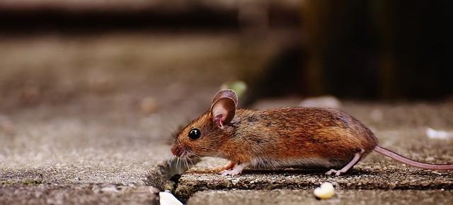 מה ההבדל בין עכבר לחולדה? ומה זה עכברוש?