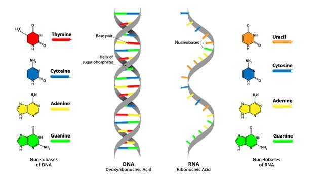 מה ההבדל בין DNA לRNA?