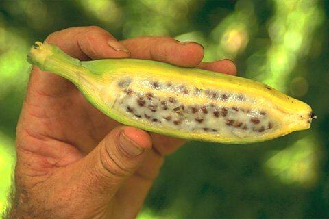 זרעי בננה