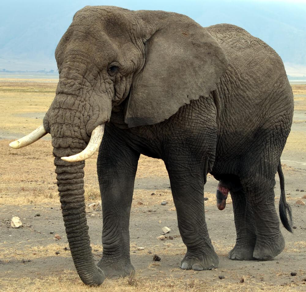 מה ההבדל בין פיל אסיאתי לבין פיל אפריקאי