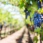 מה ההבדל בין יין אדום ליין לבן?
