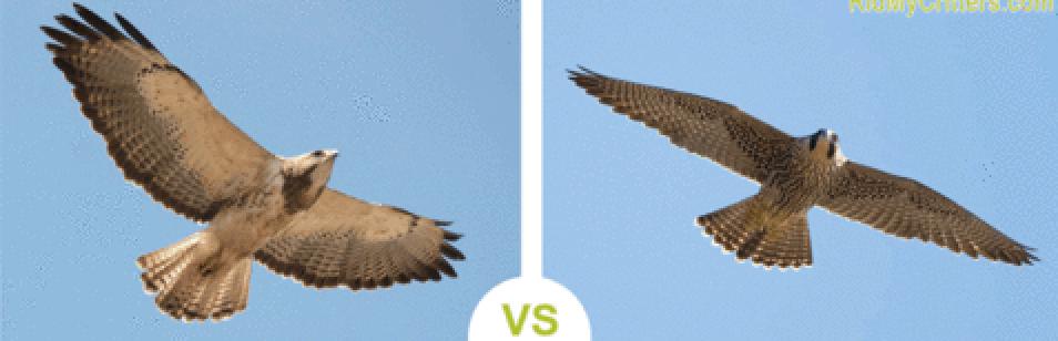 מה ההבדל בין נץ לבז?