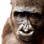 מה ההבל בין גורילה לשימפנזה?