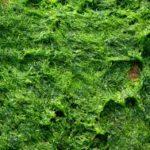 ההבדלים בין חיידקים לאצות