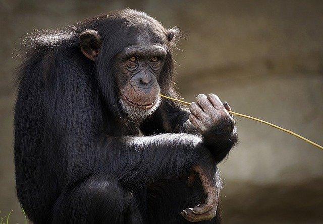 מה ההבדל בין קופים לקופי-אדם?